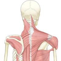 頭部から背中の解剖図